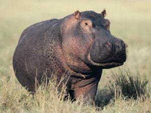 HONITON HIPPO