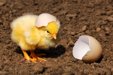 chick-hatching-dreamstime_12036145